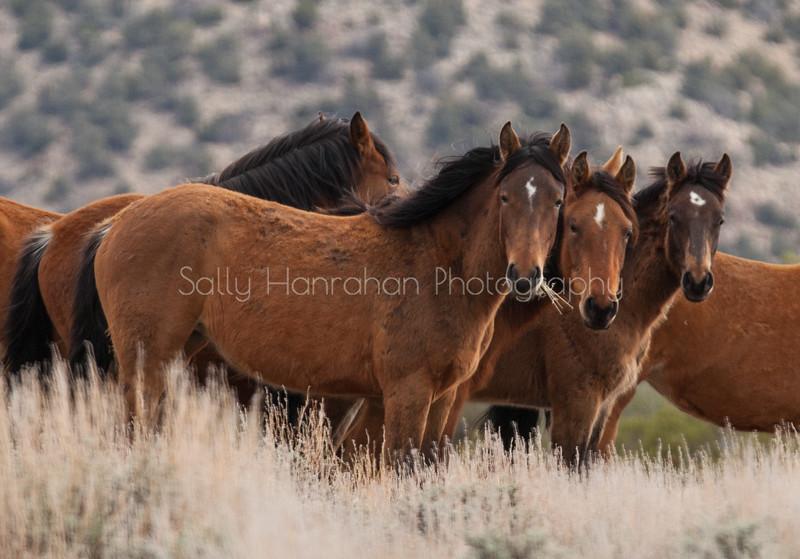 Wild Mustangs ~ Pine Nuts Mountains ~ Gardnerville ,Nevada