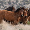 Wild Mustangs ~ Pine Nuts Mountains ~ Gardnerville ,Nevada
