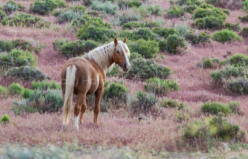Blonde Stallion