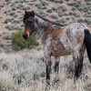 Wild Mustangs ~ Pine Nut Mountains ~ Gardnerville ,Nevada