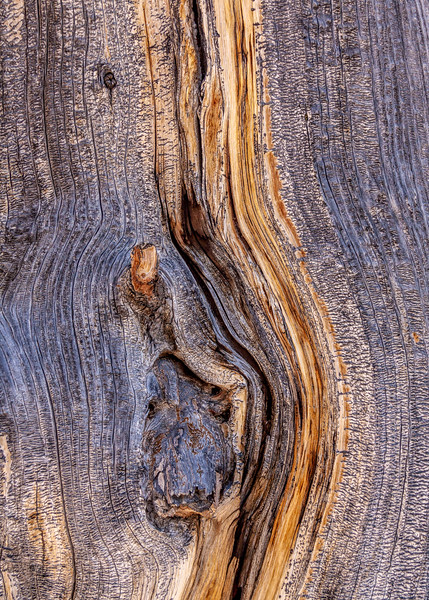 Bristle Cone Pine, Cedar Breakes National Monument