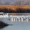 Mason Valley Wildlife Refuge Snow Geese©2014MelissaFaithKnight -5084