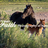 Wild Horses Young Foals Damonte Ranch Reno NV ©2016MelissaFaithKnight&FaithPhotographyNV_0816