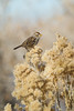 A white-crowned sparrow (Zonotrichia leucophrys) eating dried seeds. Taken in Pahranagat National Wildlife Refuge, Nevada, USA.