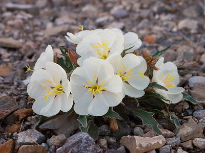 Prairie Evening Primrose wildflowers in the Leppy Hills outside of West Wendover, NV.