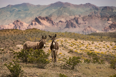 Burros at Lake Mead