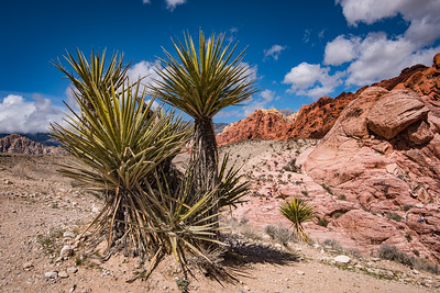 Yucca in Red Rock Canyon 2137