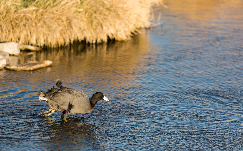American Coot Takeoff