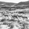Pronghorn Moving Across the Range