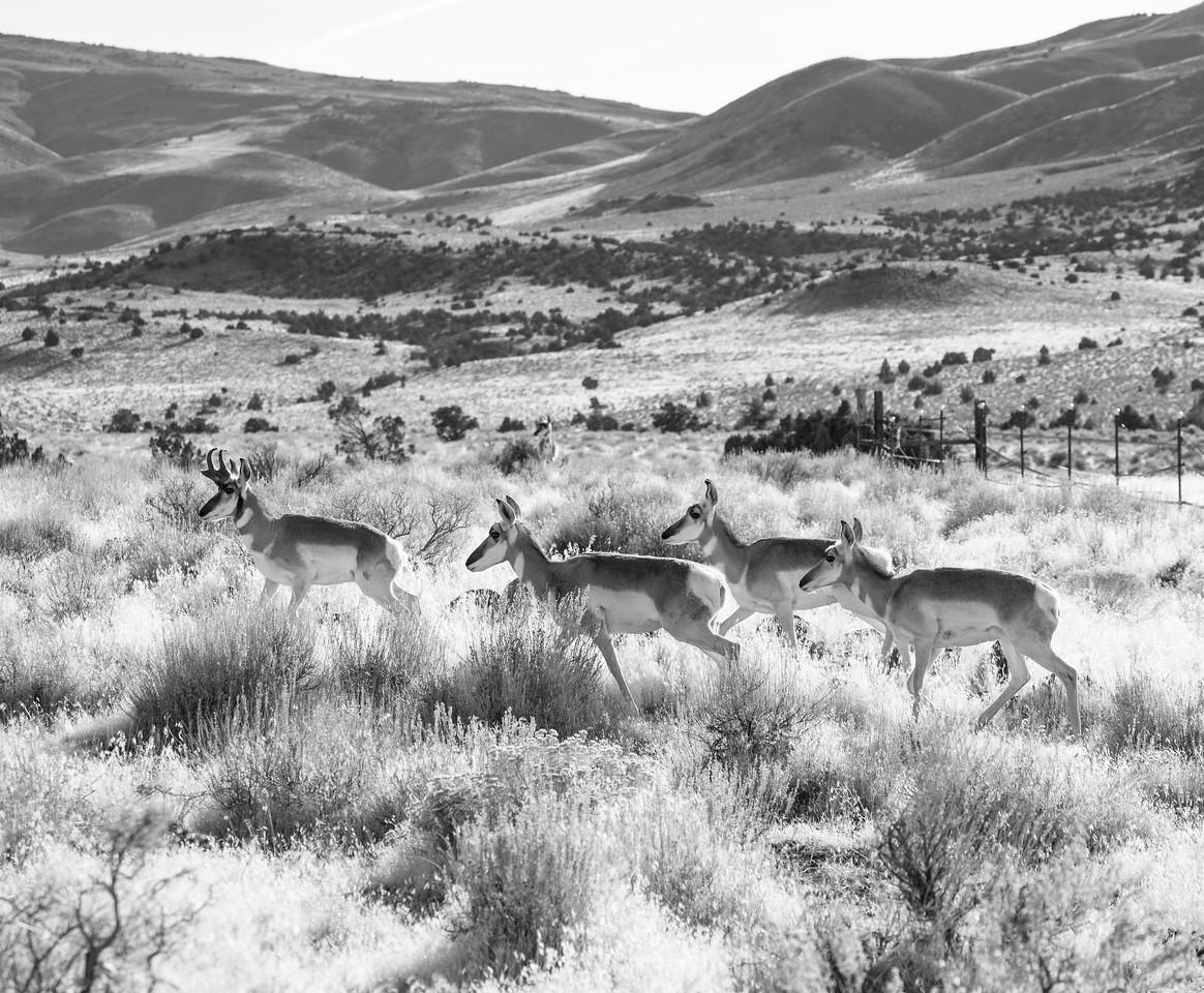 Pronghorn Moving Across the Range