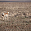 Pronghorn Facing the Open Range