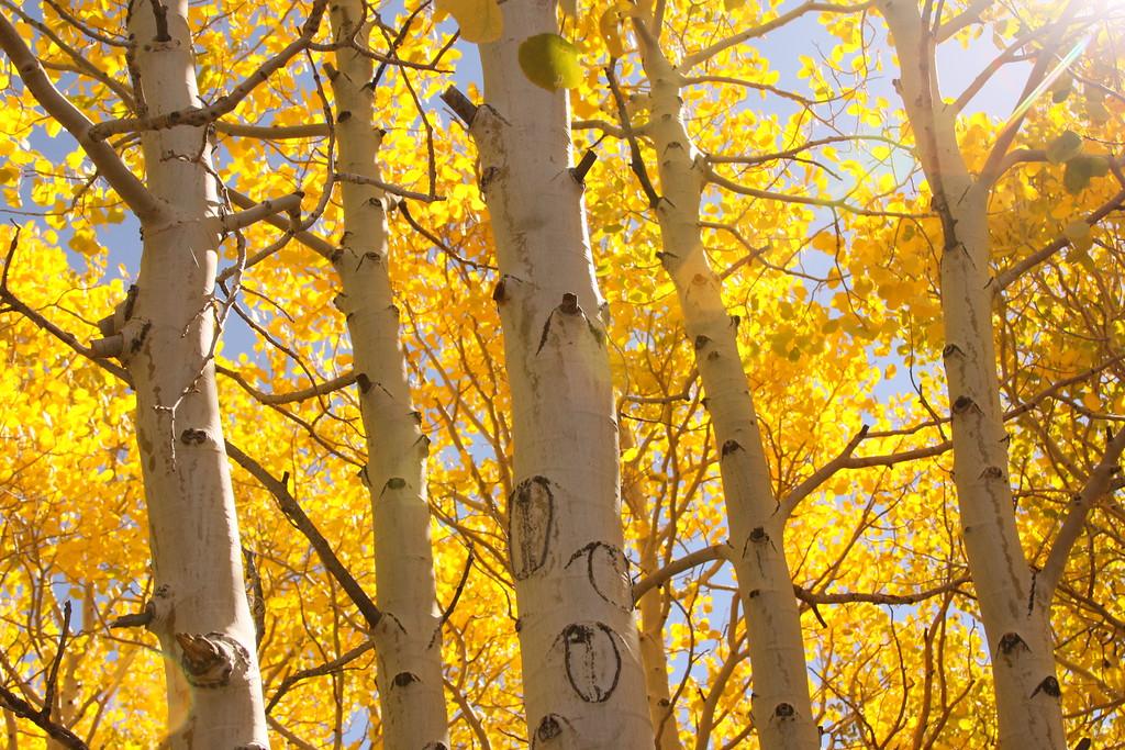 Yellow aspen tall