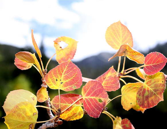 Aspen colors in the high desert of Nevada
