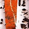orange aspen