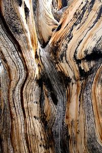 Bristlecone close up