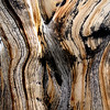 Bristlecone close up
