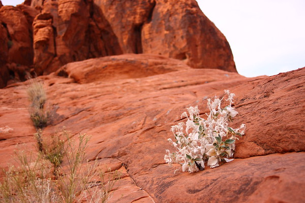 Red Rock Spring Bloom