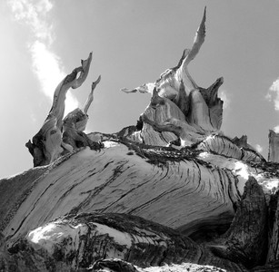 Black and white Bristlecone