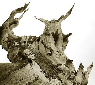 Twisted bristlecone tree