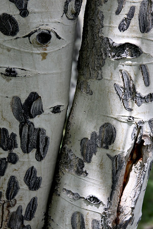 Aspen trunk