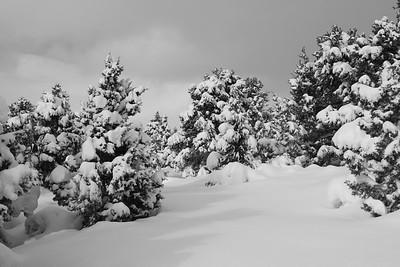 Snowy Pinyons