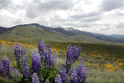 Spring wildflowers in the Nevada high desert