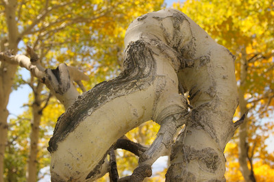 Twisted aspen