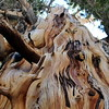Ancient tree, bristlecone pine, Great Basin National Park, NV
