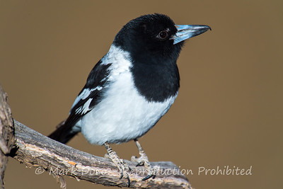 Butcher bird portrait, Darling River, NSW