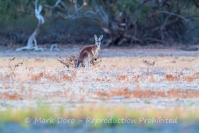 Kangaroo on the edge of the river, Darling River, NSW