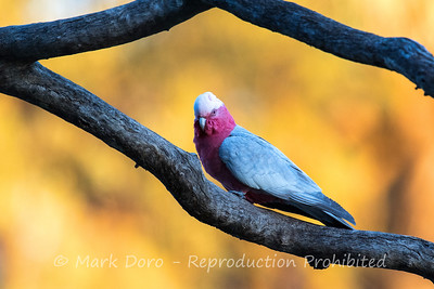Galah in the golden light of sunset. Darling River, NSW