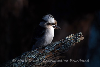 Kookaburra in the first light of the day, Boat Harbour, NSW