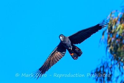 Red-tailed Black Cockatoo taking flight, Darling River, NSW