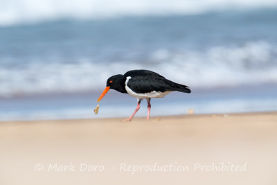 Pied Oystercatcher and pippi, Stockton Beach, Port Stephens, NSW