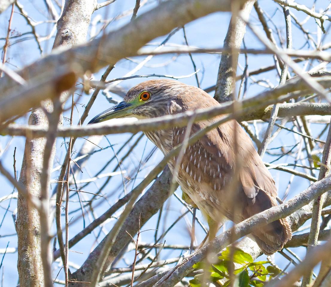 black-crowned night heron juvi