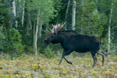 Shirus Moose take near Mirror Lake in Utah