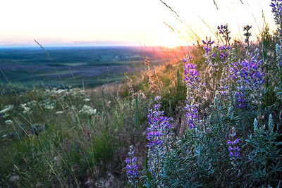 Wild Lupine Sunset from Steptoe Butte