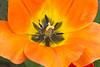 Orange Tulip Portrait