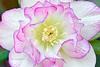 Hellebore Blossom