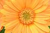 Golden Gerbera Daisy
