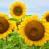 Sunflower Grouping