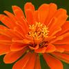 Orange Zinnia Blossom