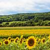 Sunflower Field NJ