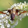 Clear-winged Hummingbird Moth