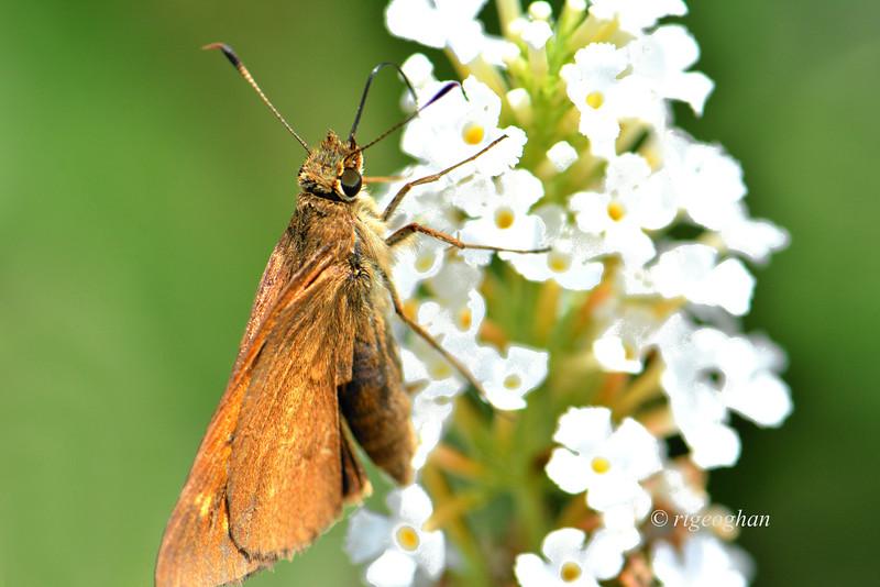 Broad-winged Skipper Butterfly