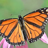 Sun-bathing Monarch Butterfly