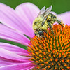 Coneflower and Bumble Bee Pollinator