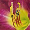 Burgundy-Yellow Daylily