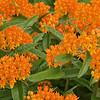 Flowering Butterfly Milkweed