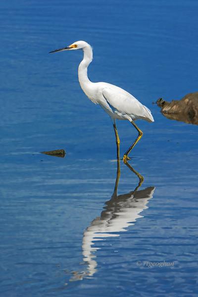 Snowy Egret-NJ Meadowlands